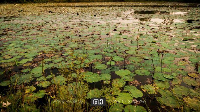 Lotus Flower (2)